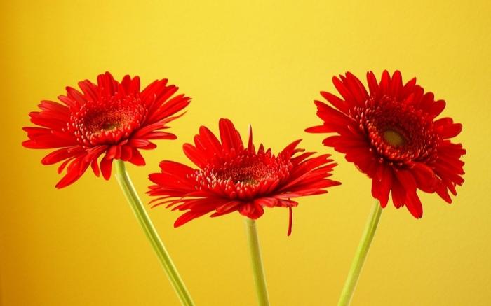 Hoa đồng tiền - Loài hoa mang nhiều ý nghĩa ít ai biết? 932937551
